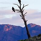 Bunyeroo Valley Wedge Tail Eagles by Bill  Robinson
