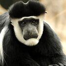 Colobus Monkey by Judi Corrigan