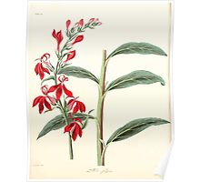 Floral illustrations of the seasons Margarate Lace Roscoe 1829 0154 Lobelia Fulgens Poster