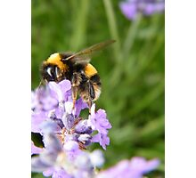 The Busy Bumble Bee Photographic Print