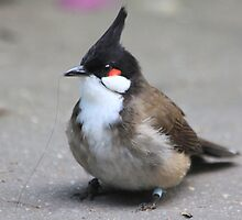 Red-whiskered Bulbul  find a.......hair  by DutchLumix