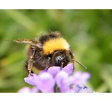 The Busy Bumble Bee (Cropped) Photographic Print