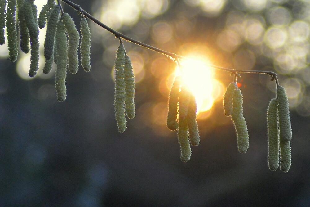 Catkin Sunset at Pipes Place by brianfuller75