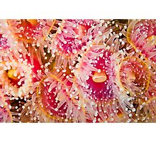 Jewel Anemonies Photographic Print