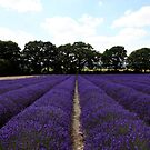 Lavender Fields, Hampshire by derekwallace