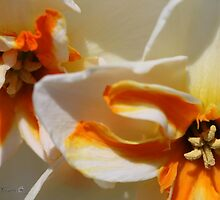 Split-cupped Narcissus named Trepolo by JMcCombie
