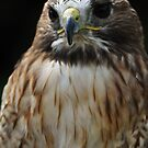 Redtail Buzzard  by Mike Higgins