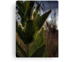 Backlit Milkweed Canvas Print