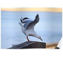 Wary Seagull - Mills Beach Mornington Poster