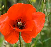 One Lonely Poppie by Elaine123