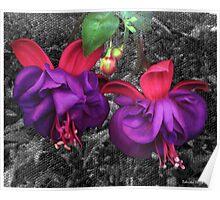 Fuchsia Flowers Poster