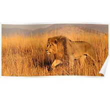 Male lion on the move Poster