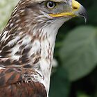 King Hawk, Butea Regalis  by angeljootje