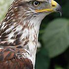 King Hawk, Butea Regalis  by angeljootje