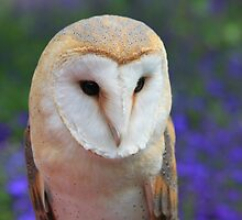 The Barn Owl, Tyto alba by DutchLumix