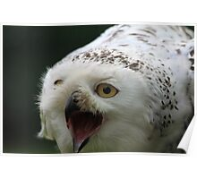 The Snowy Owl, Bubo scandiacus Poster