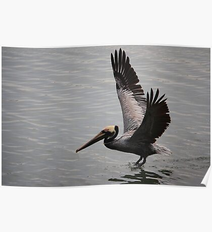 Pelican in the Inlet Poster