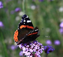 Red Admiral by Dave Godden