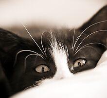 Kitten by Darren Allen