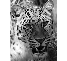 Wild Cat - Wildlife Heritage Foundation Photographic Print