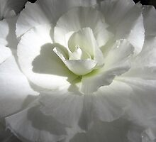 White  Begonia by Fe Messenger
