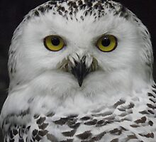 Snowy Owl by angeljootje