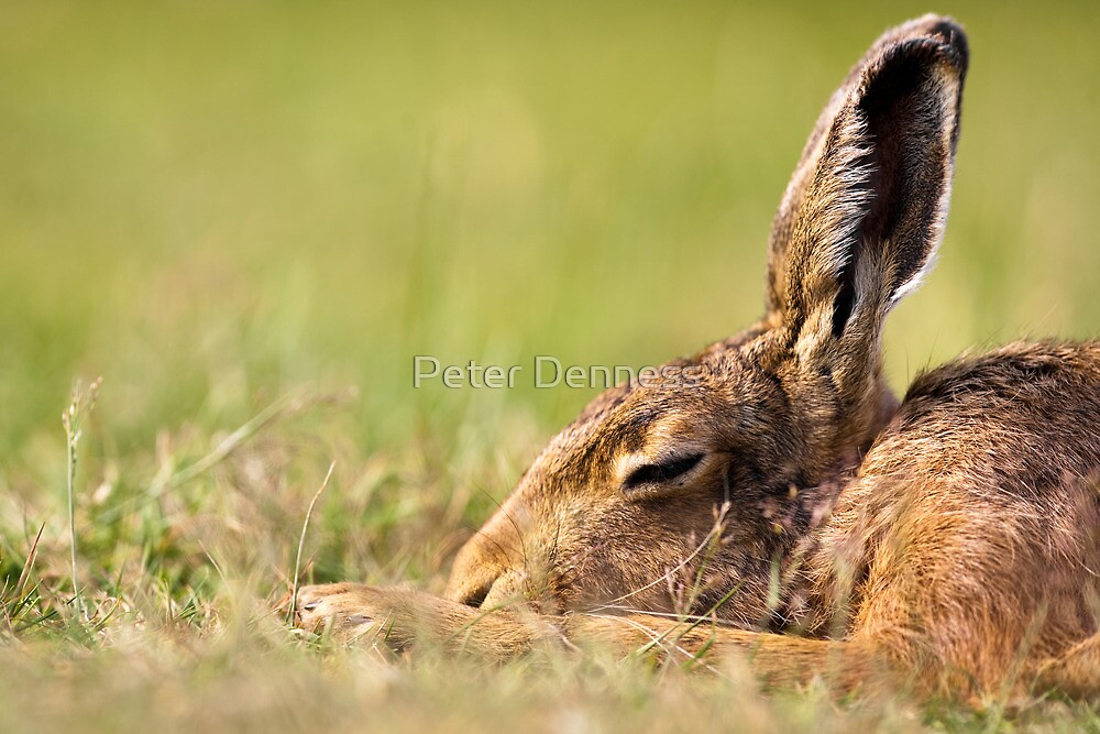 Day Dream Hare by Peter Denness