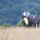 Grayson Highlands Wild Ponies  by Chris Snyder