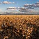 Narrabri Fields of Gold by Tim Boehm