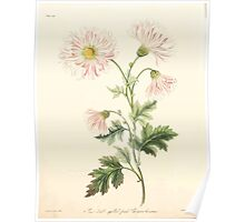 Floral illustrations of the seasons Margarate Lace Roscoe 1829 0166 Semi Double Quilled Pink Crysanthemum Poster