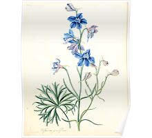 Floral illustrations of the seasons Margarate Lace Roscoe 1829 0266 Delphinium Grandiflorum Poster