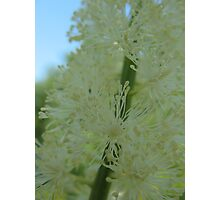 Bottle Brush White Flower Photographic Print