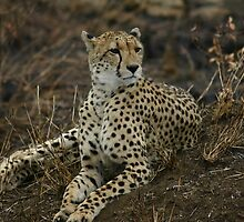 Majestic cheetah by jozi1
