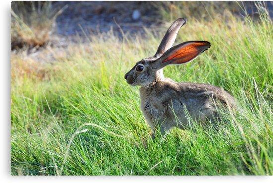 "Mr. ""Jack"" Rabbit by Barbara Manis"