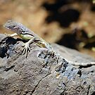 ZEBRA-TAILED LIZARD   by Stormygirl