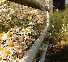 daisy on the farm by shilohrachelle