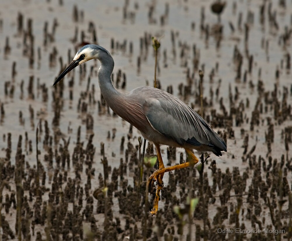 White faced heron, Egretta novaehollandiae by Odille Esmonde-Morgan