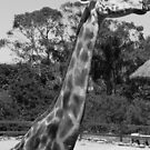 My, What a Long Neck You Have by Debbie Thatcher