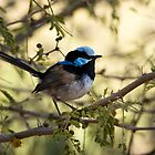 Blue Wren. by trevorb