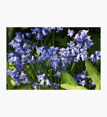Cluster of Bluebells Photographic Print