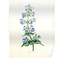 Floral illustrations of the seasons Margarate Lace Roscoe 1829 0278 Penstemon Ovatus Poster