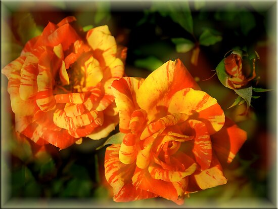 Variegated Roses (Harry Wheatcroft) by Elaine Teague