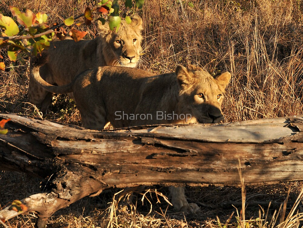 Walking With lions - Victoria Falls, Zimbabwe. by Sharon Bishop