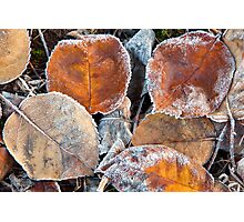 Frosty Leaves 1 - Bellarine Peninsula Photographic Print