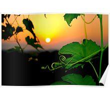 silhouette of grape vine leaves  Poster