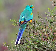 Mulga Parrot taken at Arid Lands Park at Port Augusta by Alwyn Simple