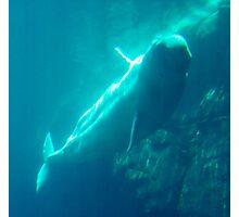 """Beluga Whale"" Photographic Print"