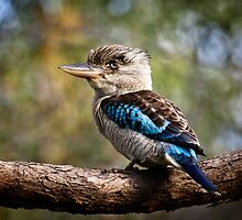 Blue Winged Kookaburra by John Quixley
