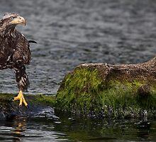 Baby Bald Eagle, Ketchikan Port Alaska  by Margaret Metcalfe