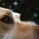 A Yellow Lab: II by Rachel Counts